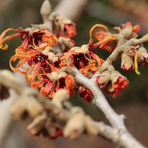 Ambler Arboretum Speaker Series: Frosty Flowers, Trees and Shrubs to Make Your Landscape a Winter Wonderland