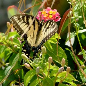 A butterfly in the Ambler Campus gardens.