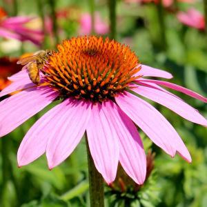 A honeybee in the campus gardens.