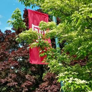 A Temple T flag among the foliage at Temple Ambler.
