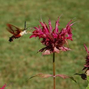 A hummingbird moth visits the Formal Perennial Garden.