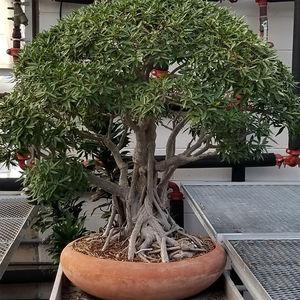 Ambler Arboretum Speaker Series: The Story of Bonsai — Virtual Event
