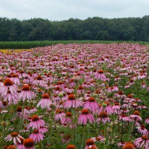 Pollinators and Wildflowers — Observations from the Field: Tom Knezick -Wednesday, December 12