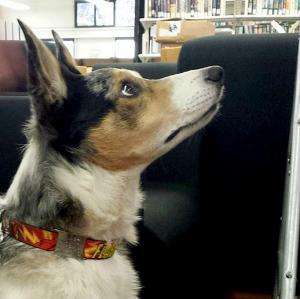Therapy Dogs International visits Temple University Ambler.